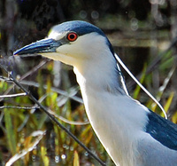 [Night Heron 3]
