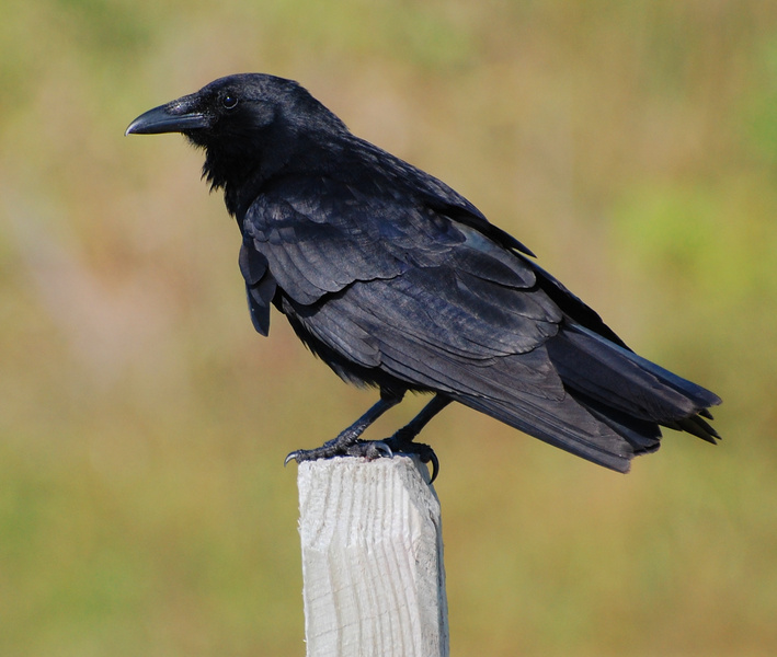 Suzanne britton nature photography fish crow for Fish crow call