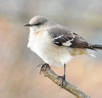 [Northern Mockingbird]