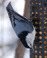 [White-Breasted Nuthatch 3]