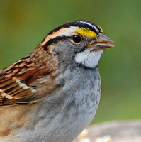 [White-Throated Sparrow]