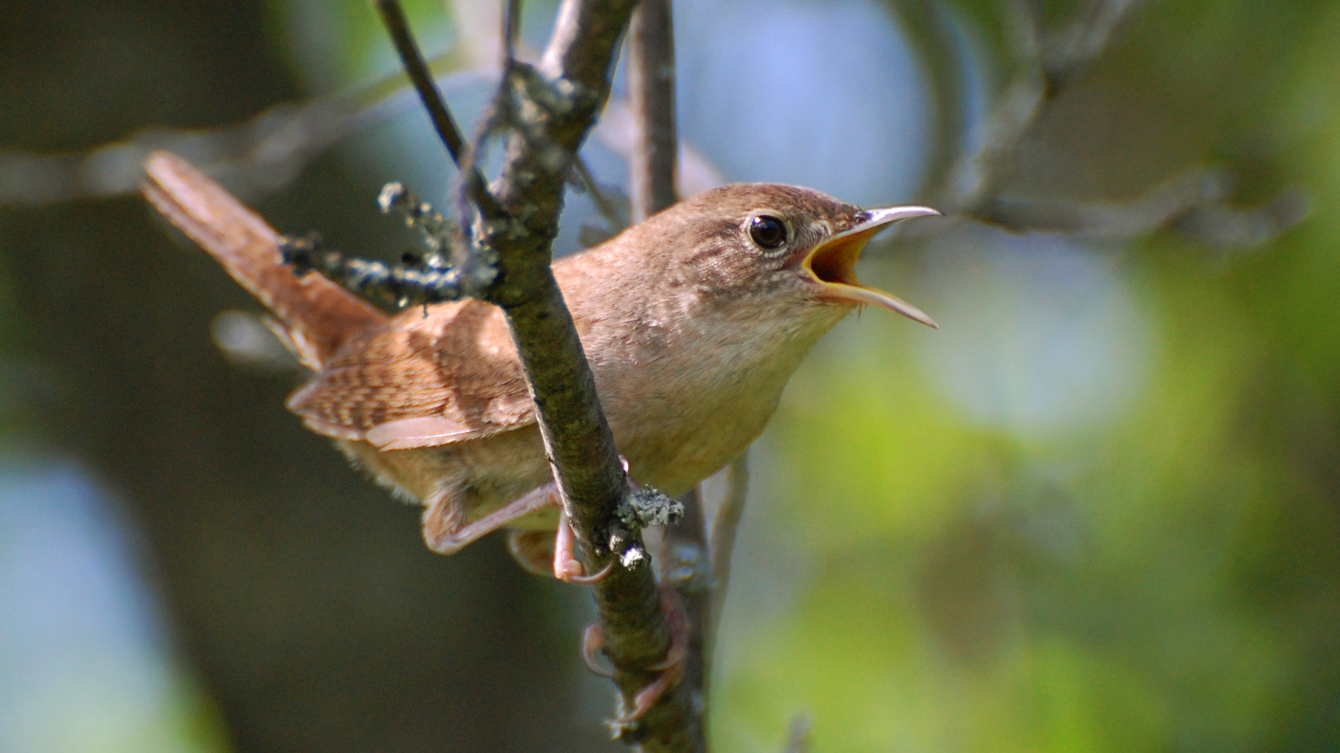 Suzanne Britton Nature Photography House Wren