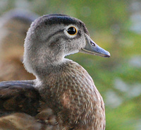 [Young Wood Duck]