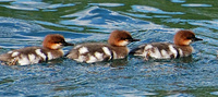 [Merganser Family]