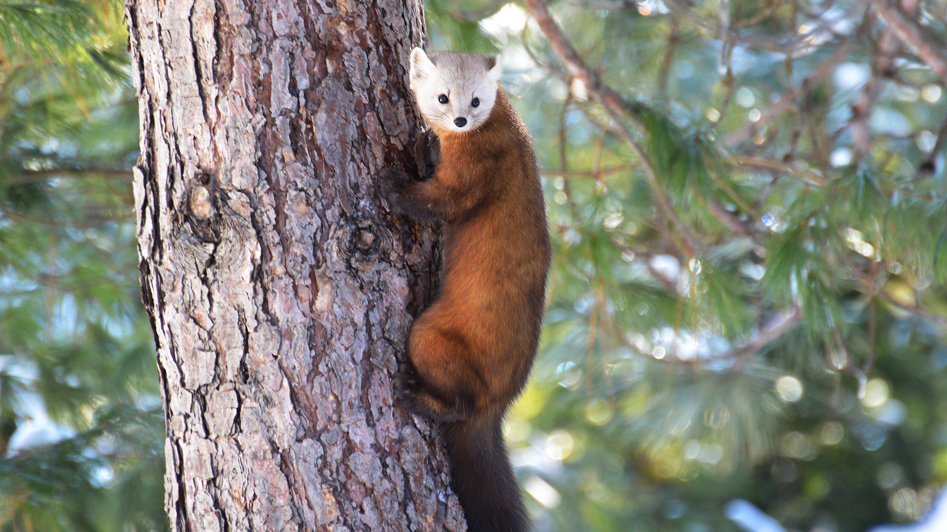 Your pictures of Scotland: 29 June-6 July - BBC News Pictures of a pine marten
