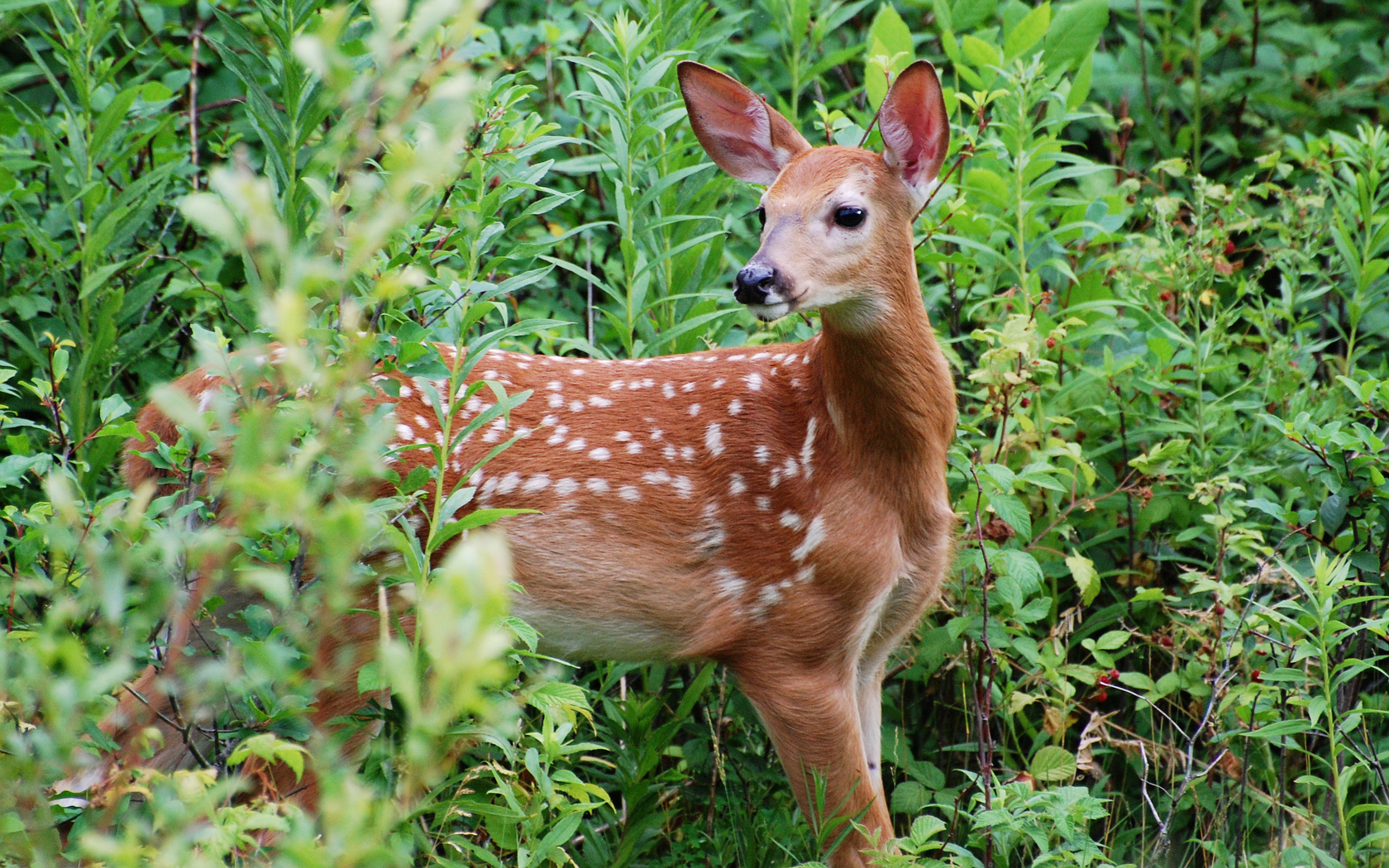 baby whitetail fawn in - photo #34