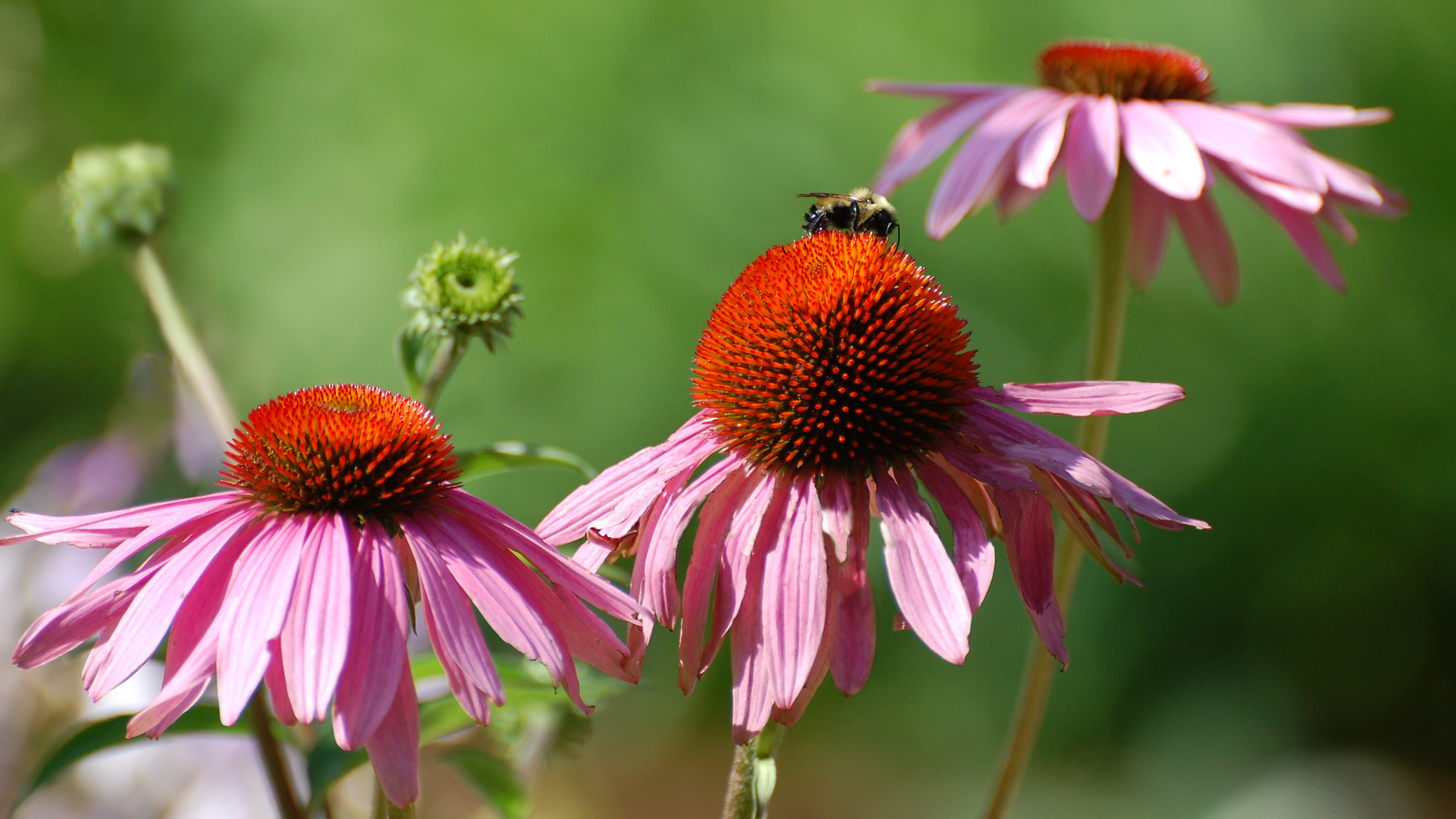Purple Coneflower Wallpapers: Suzanne Britton Nature Photography: Stages Of Life